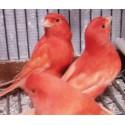 Canaris rouge ou orange