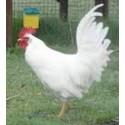 Leghorn poule pondeuse, à partir de 19.90€