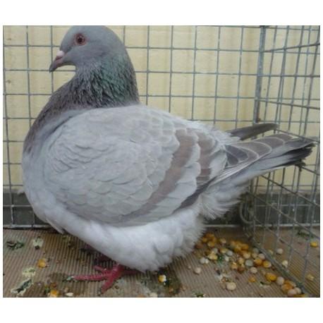 Pigeon Texan