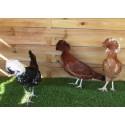 Hollandaise adulte poule - A partir de 35€