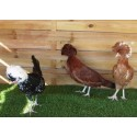 Hollandaise adulte poule - A partir de 29.90€