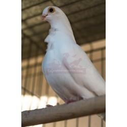 Pigeon Cravatté BLANC, Mâle ou Femelle -  A EMPORTER