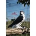 Pigeon Lahore Noir et Blanc