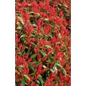 "PHOTINIA fraseri ""RED ROBIN"" +/- 1.40m"
