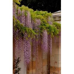 Glycine du japon à longue grappes - Bleu lilas