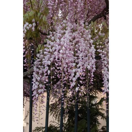 WISTERIA floribunda 'ROSEA' 'Honbeni'