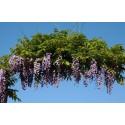 """Glycine du Japon violet """"Violacea Plena - Black Dragon"""""""