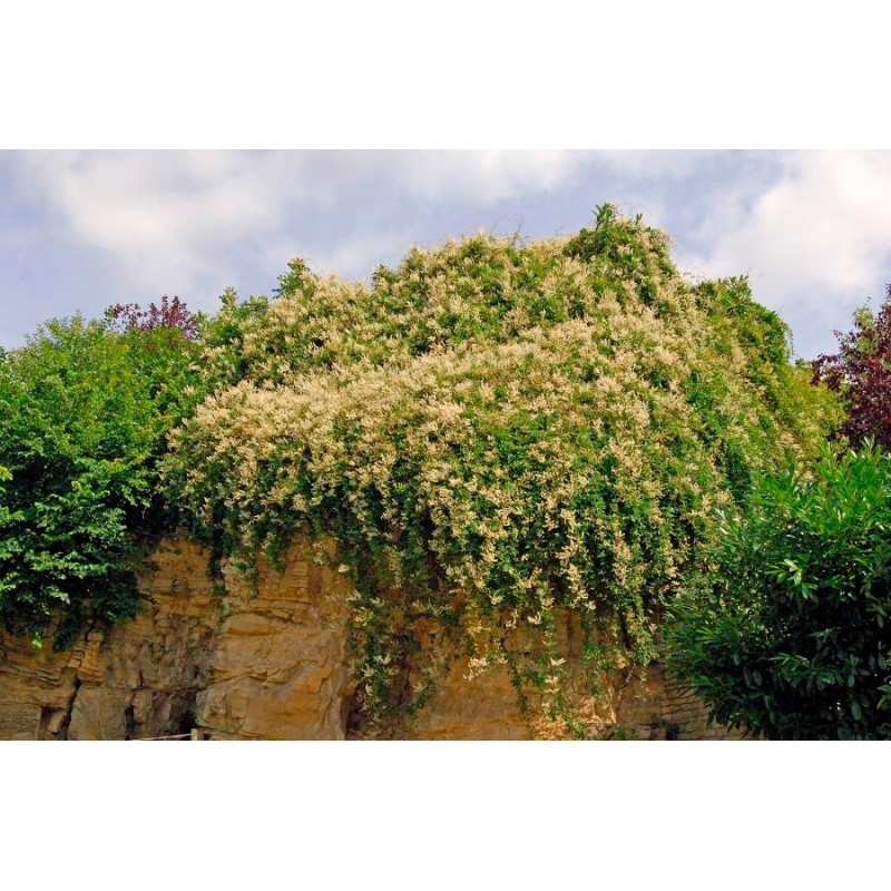 Plantes Grimpantes La Ferme De Manon