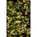 """Rosier liane jaune - ROSA banksiae """"LUTEA'"""""""