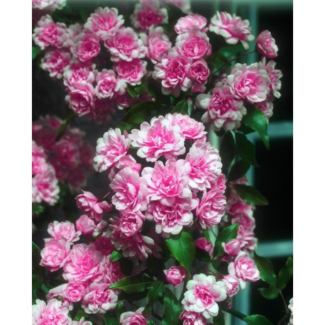 "Rosier liane rose - ROSA banksiae ""ROSEA'"""
