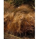 "Carex comans ""Bronze Form"" - Laiche comans Bronze Form"