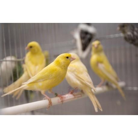 Canaris panachés et jaunes