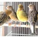 Canaris vert/brun/jaune - A partir de 14.90€