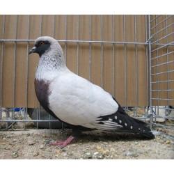 Pigeon Paon blanc