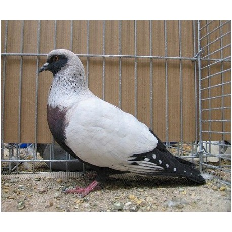Pigeon Chardonneret