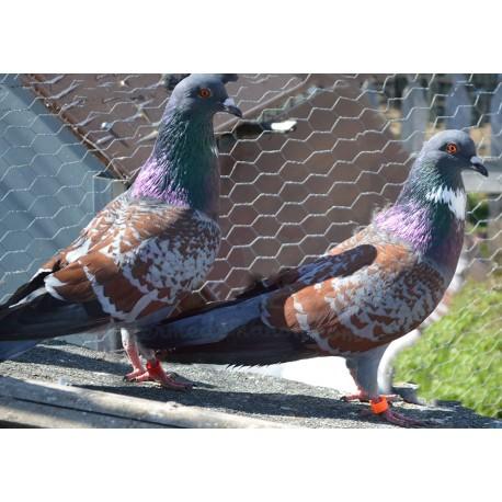 Pigeon Cauchois