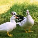Canard de barbarie