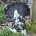 Pigeon Paon Indien