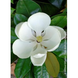 MAGNOLIA grandiflora 'FRANCOIS TREYVE'
