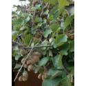 ACTINIDIA chinensis SOLISSIMO (R) 'Renact'