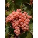 VITIS vinifera 'Katharina'