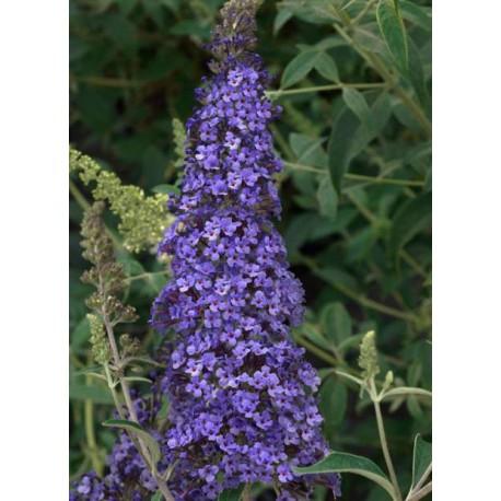 Arbre aux papillons bleu - BUDDLEJA