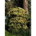 Aucuba à feuilles de croton - AUCUBA japonica 'CROTONIFOLIA'