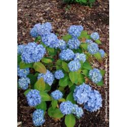 Hortensia ENDLESS SUMMER® The Original bleu