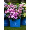 Hortensia ENDLESS SUMMER® Twist'n Shout (Rose)
