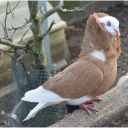 Pigeon capucin à petite capuche jaune