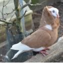 Pigeon Capucin à petite capuche