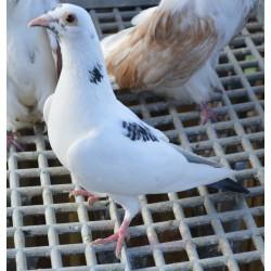 Pigeon voyageur panaché blanc