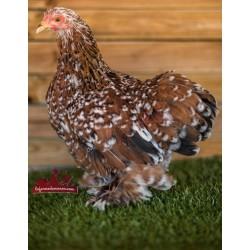 Lot de 3 poules pékin expédiées, transport compris