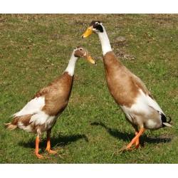 Canard Coureur Indien Mâle et Femelle adulte
