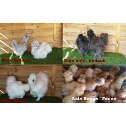 Lot de 3 poules soies expédiées, transport compris