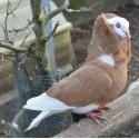 Pigeons capucins, lot de 2 couples, transport inclus