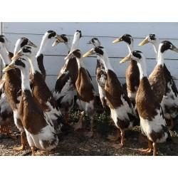 Canard Coureurs Indiens, en groupe