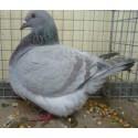 Pigeon texan, le couple, transport inclus