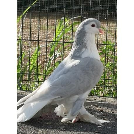 Pigeon Lahore bleu, mâle