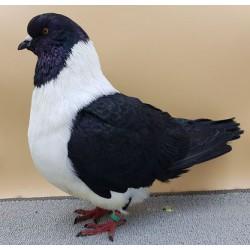 Pigeon Strasser - club francais du Strasser