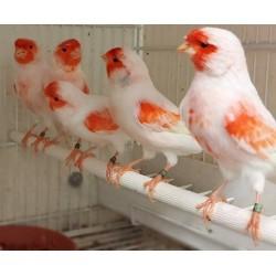 Canaris Lipo mosaïque rouge blanc