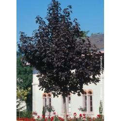 erable - arbre - terre de jardin - Arbre d'ombrage