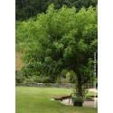 Mûrier à feuilles de platane sans fruits (stérile)
