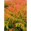 KOELREUTERIA paniculata 'Coral Sun' cov
