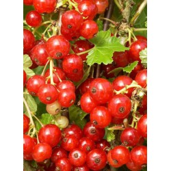 RIBES rubrum 'VERSAILLAISE ROUGE' - groseille - petit fruitiers - fruitiers