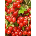 Groseillier à grappes Versaillaise rouge
