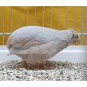 Caille de chine mâle argenté