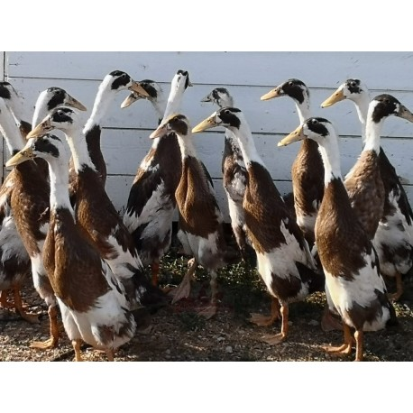 Canard Coureur Indien, lot de 4 mâles, transport inclus