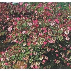 arbre de judée - arbre de judée toxicité - cercis carolina - gainier du canada - JARDINERIE - PEPINIERE