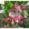 Acajou de Chine - CEDRELA sinensis 'FLAMINGO'
